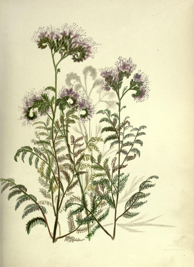 Pacific plant botanical illustrations