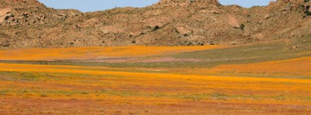 namqualand flowering carpet