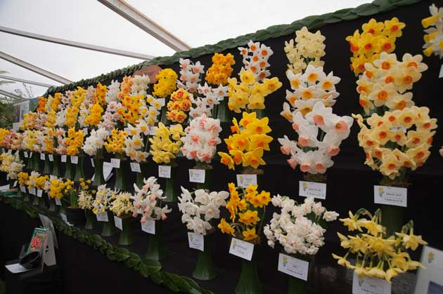 Daffodil entries flower show