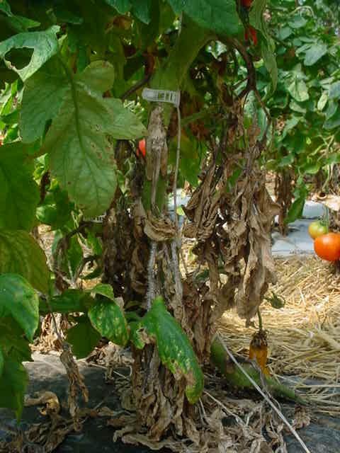 botrytis on tomato factsheet cornell university - 480×640
