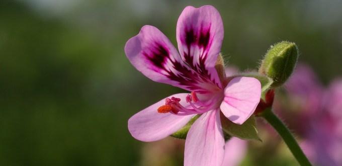 geranium-bourbon-pelargonium