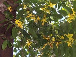 Cananga_odorata_fleurs-he