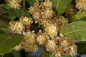Laurus nobilis-fleurs
