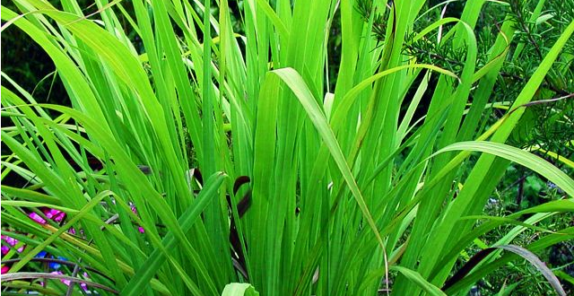 huile-essentielle-palmarosa