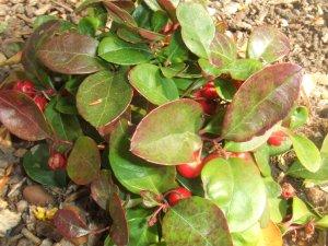 he-gaultheria-procumbens