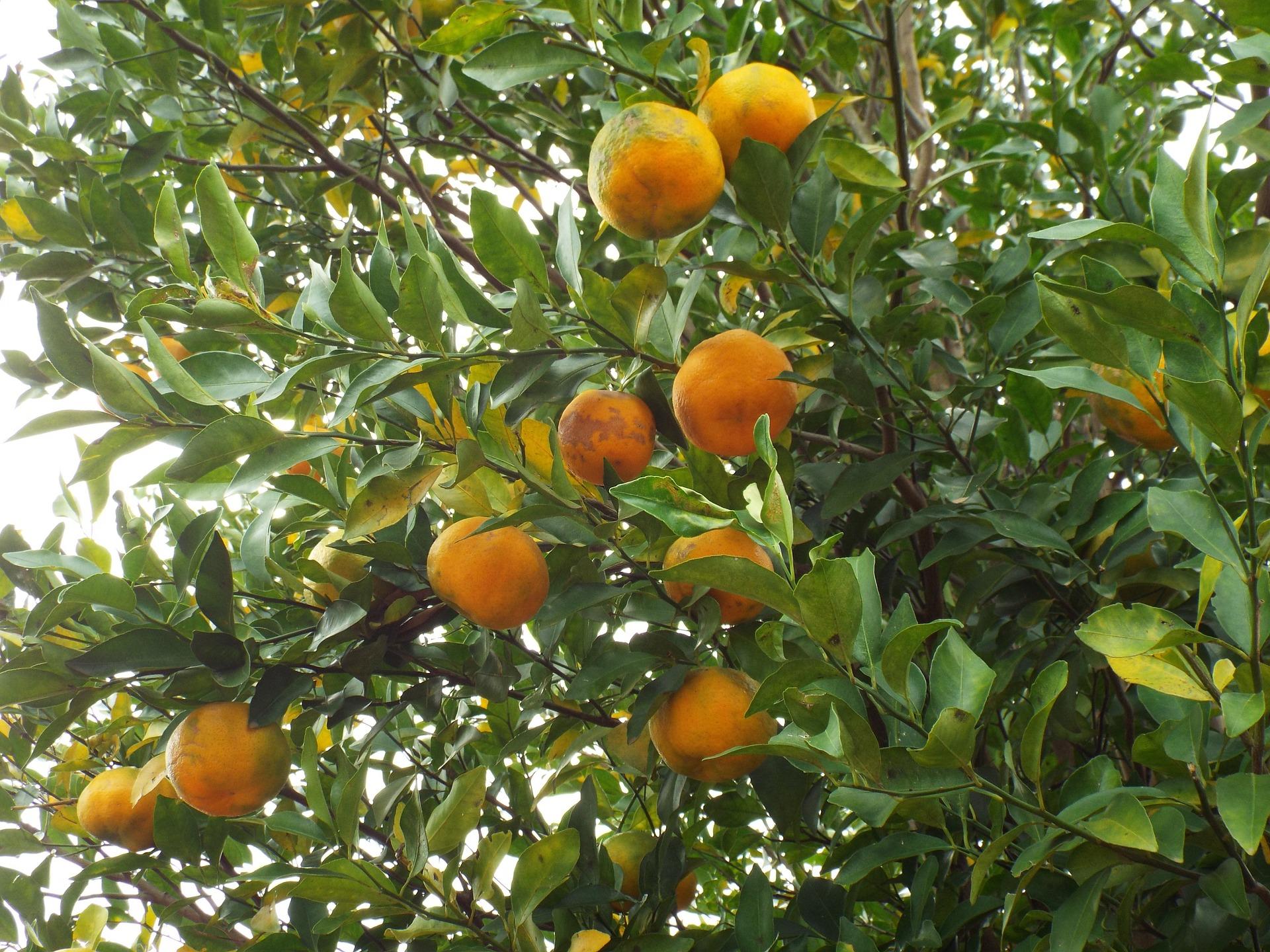 Huile essentielle de Bergamote: l'agrume rebelle