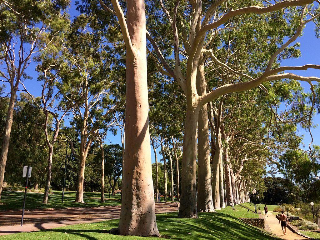 Huile essentielle Eucalyptus citronné: faux ami, vrai anti-douleur