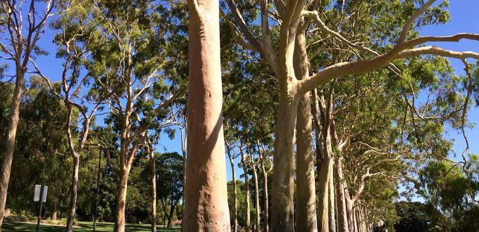 he-eucalyptus-citron