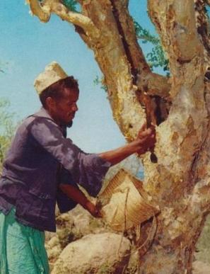 arbre-myrrhe-recolte-resine