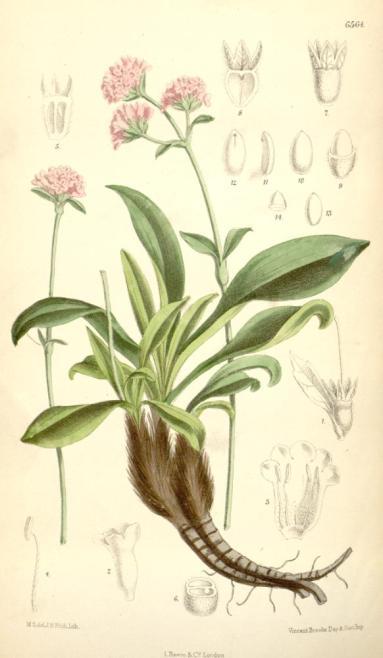 Nardostachys_grandiflora
