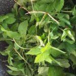 skvladerkål i farvebadet. Plantefarve