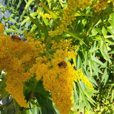 gyldenris plantefarve