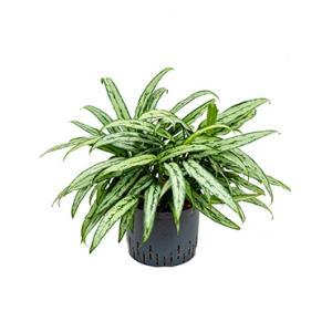 Aglaonema cutlass L hydrocultuur plant