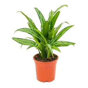 Aglaonema cutlass S kamerplant