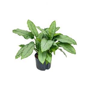 Aglaonema freedman M hydrocultuur plant