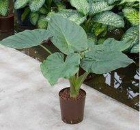 Alocasia Wentii (Hydroplant)