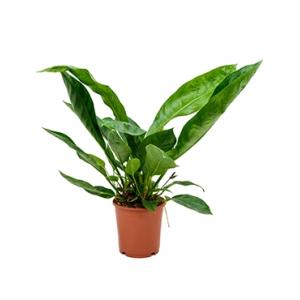 Anthurium jungle king S kamerplant