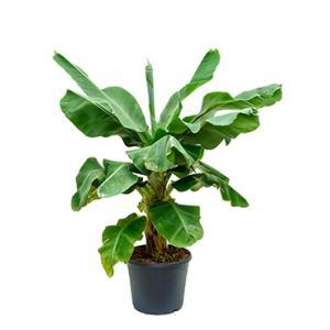 Bananenplant musa dwarf cavendish L kamerplant