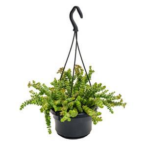 Crassula hottentot S hangplant