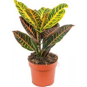 Croton petra XS kamerplant
