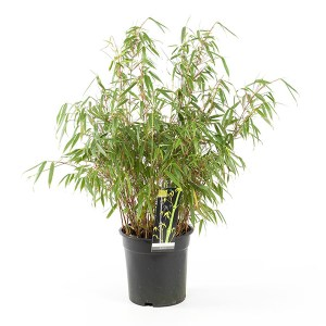 Fargesia Bamboeplant - P 23 cm
