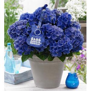 """Hydrangea Macrophylla Music Collection """"Blue Boogiewoogie""""® boerenhortensia - 25-30 cm - 1 stuks"""
