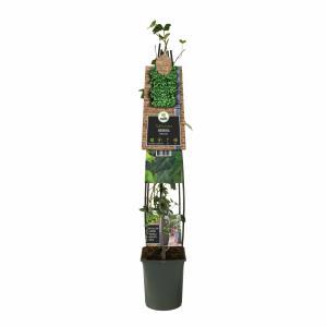 Ierse klimop (Hedera hibernica) klimplant - 120 cm - 1 stuks