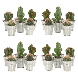 Mini Cactusjes 20-pack (in zinken emmertje) - P 6