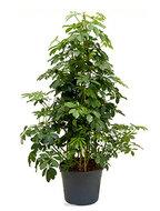 Schefflera Arboricola Pyramide