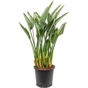 Strelitzia reginae XL kamerplant