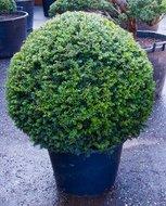 Taxus Baccata Bol tuinplant
