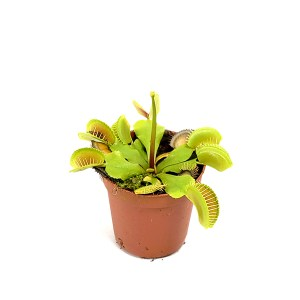Vleeseter (Dionaea muscipula) - P 9 cm