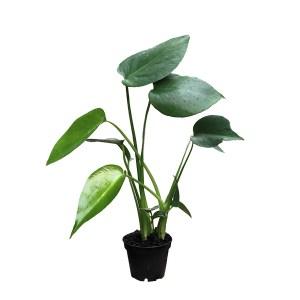 Mini Monstera (Gatenplantje) - P 6 cm