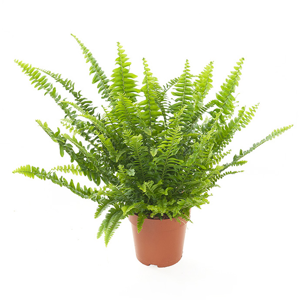 Nephrolepis 'Green Lady' - P 12 cm