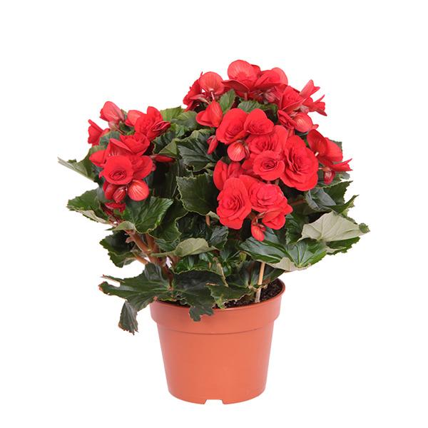 Rode Begonia (Kamerbegonia Elatior) - P 14 cm