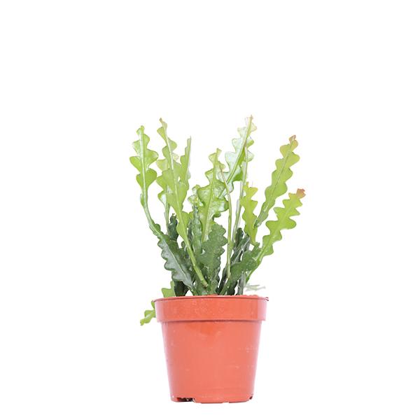 Epiphyllum Anguliger (Zaagcactus) - P 12 cm