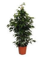 Ficus Danielle 80 cm