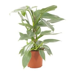 Philodendron Hastatum (Silver Sword) P 17 cm