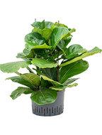 Ficus lyrata 75 cm (Hydroplant)