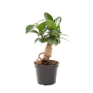 Mini Ficus Ginseng (Microcarpa) - P 6 cm