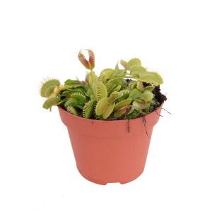 Venus Vliegenval (Dionaea Muscipula) P 12 cm
