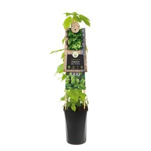 Bierplant Hop (Humulus Lupulus Nordbrau) - P 16 cm