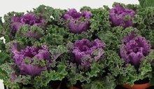 Sierkool Brassica gekruld rood