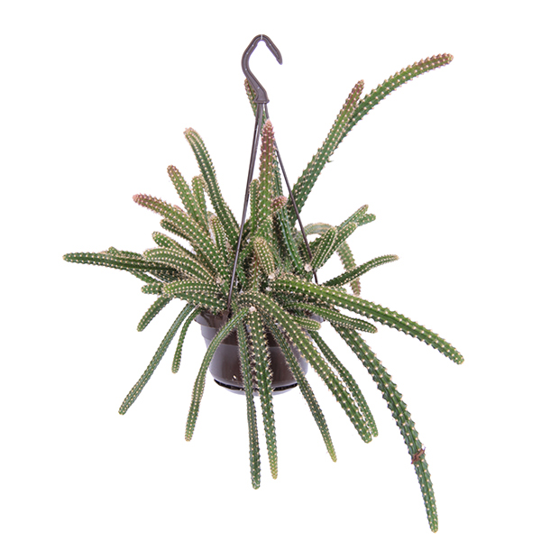 Slangencactus (Aporocactus Malisonii) - P 14 cm