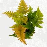 Dryopteris Erythrosora (rode sluiervaren)