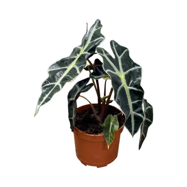 Alocasia Polly grotere potmaat