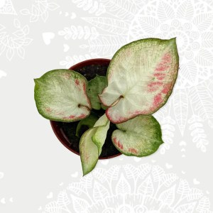 Caladium white green subtiel pink