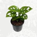 Monsterea Adansonii Monkey Mask baby plant