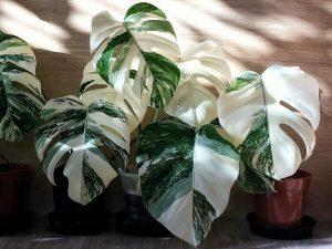 monstera deliciosaalbo variegata