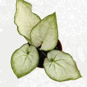 Caladium white green
